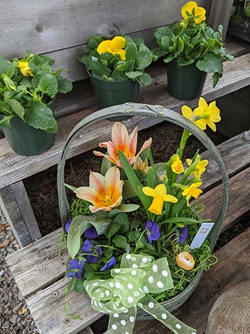Daffodils and other potted plants