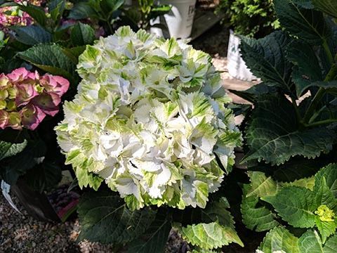 green and white Hydrangea Noblisse