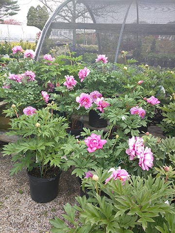 Nursery: flowering shrubs