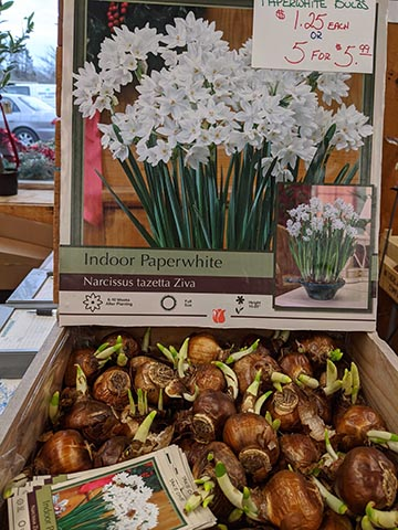 indoor sprouting bulbs