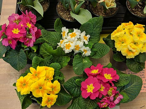 primroses in a variety of colors