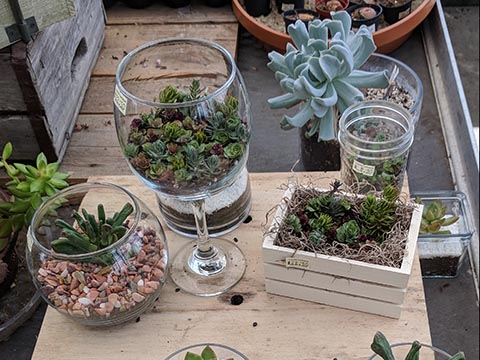 Small succulent gardens in glass cups and tiny containers.