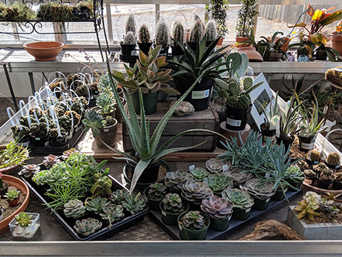 A large variety of succulents